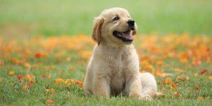 Rekomendasi Makanan Anjing Mencegah Bulu Rontok